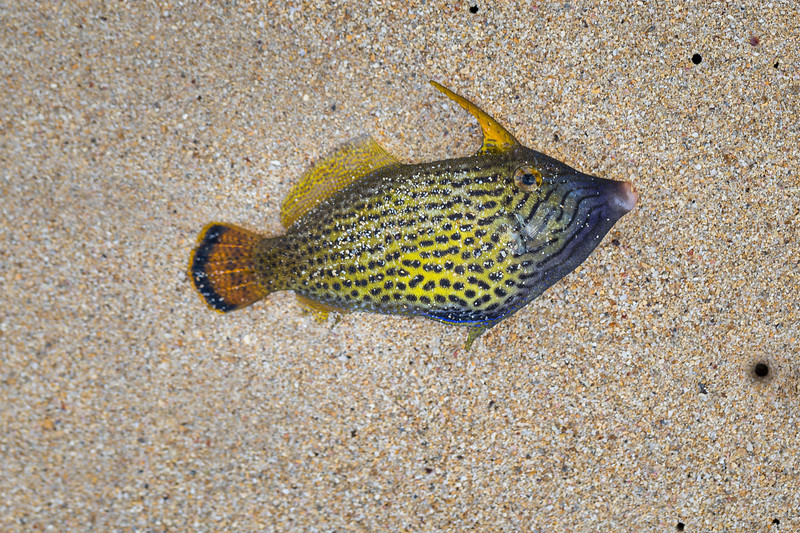 Fantail filefish, Pervagor spilosoma, a native marine fish of Hawai`i