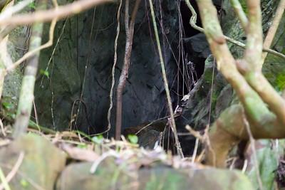 Cave for Gray Swiftlet, Aerodramus vanikorensis, an indigenous swiftlet of Micronesia, Sokehs Mountain, Pohndollap, Pohnpei, FSM