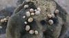 Nerita plicata, an indigenous sea snail, in the intertidal zone of Ngerkeklau Island, Palau