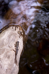 Barred mudskipper, Periophthalmus argentilineatus, an indigenous udskipper in Micronesia and other Pacific Islands, at Pacific Treelodge Resort, Kosrae, FSM