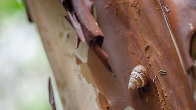 Pupu kani oe, Achatinella mustelina, an endangered Hawaiian tree snail on O`ahu, Hawai`i.