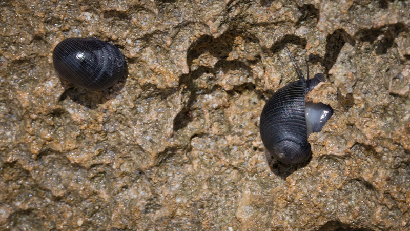 Pipipi, Nerita picea, an endemic sea snail of tidepools in Hawai`i