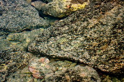 Hawaiian sereant, Abudefduf abdomilis, a native marine fish in Hawai`i