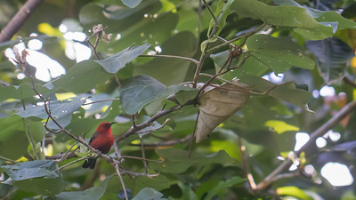 Micronesian Myzomela, Myzomela rubrata rubrata, and indigenous honeyeater of Micronesia and other Pacific Islands, at Walung ecolodge, Kosrae, FSM