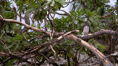 Brown Booby, Sula leucogaster, an indigneous seabird in Micronesia and other Pacific islands, on Bird Island, Ant Atoll, Pohnpei, FSM