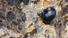 Pipipi, Nerita picea, an endemic sea snail of tidepools in Hawai`i