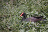 `Alae `ula, Gallinula chloropus sandvicensis, an endemic endangered Hawaiian waterbird.