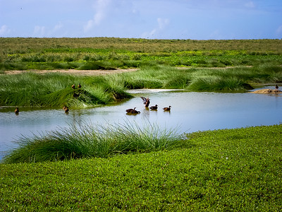 Laysan Duck or Laysan Teal (Anas laysanensis), an endangered Hawaiian duck that used to be on all the main islands but is now limited to Laysan. recently translocated to Midway and Kure.