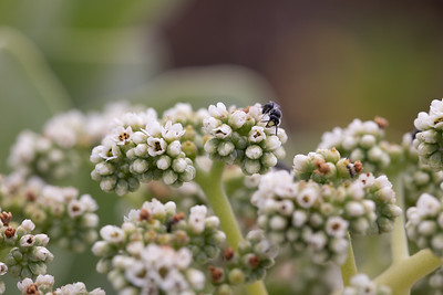 Yellow face bee, Hylaeus anthracinus, a native, endemic, endangered bee of Hawai`i