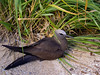 Brown Noddy, Common Noddy, Noddy Tern, or Noio-kōhā (Anous stolidus), an indigenous seabird in the Pacific Islands.
