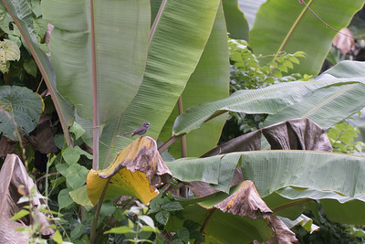 Pohnpei fantail, Rhipidura kubaryi, an endemic passerine of Pohnpei, at Sokehs Mountain, Pohndollap, Pohnpei, FSM