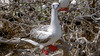 Ā, red-footed booby, Sula sula, an indigenous seabird of Hawai`i and many other Pacific islands.