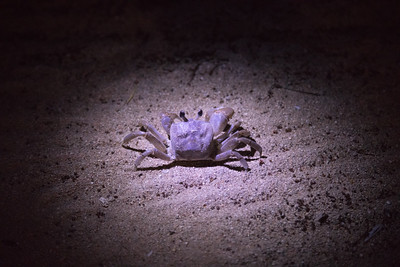 Ghost crab, Ocypode certophthalma, an indigenous crab of the Marianas and other Pacific islands, Walung coast, Kosrae, FSM