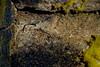 Cocos frill-goby, Bathygobius cocosensis, a native marine, tidepool fish in Hawai`i