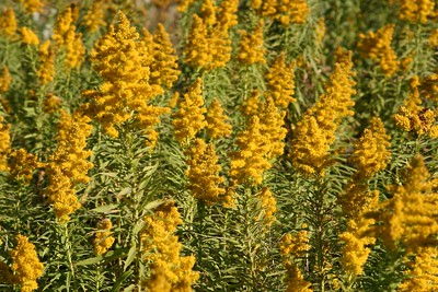 Field of Goldenrod (Humber Bay Park, Toronto)