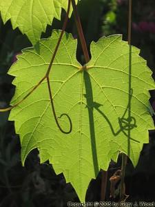 Backlt leaf