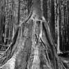 One redwood tree growing over the stump of another redwood tree.