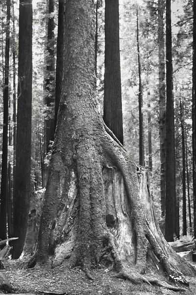 Redwood tree growing over the stump of another redwood tree in Arcata, CA