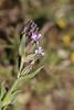 Scouler's Catchfly - Silene californica Pink Family Pin-Striped calyx