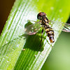 Hoverfly5225