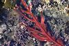 Red Sea Leaf - Erythrophyllum delesserioides