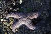 Pisaster Ochraceus - Purple Star or Ochre Star