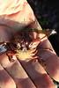 Decorator  or Kelp Crab Exuvium
