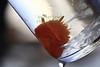 Acanthadoris lutea - Orange Peel Nudibranch