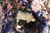 Nudibranch - Diaulula sandiegensis - Ring-Spotted Dorid or Leopard Sea Slug