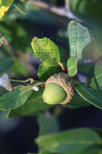 Huckleberry Oak Acorn