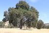 Valley Oak or White Oak - Foothills