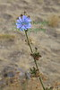 Chicory - Cichorium intybus - Introduced from  Eurasia, young leaves edible in salads or as a vegetable, roots ground and roasted, often added to coffee