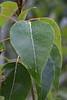 Black Cottonwood leaf
