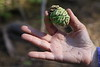 Giant Sequoia Cone and tiny seeds