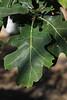 Black Oak Leaf - Deep Lobes with spines