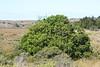 Wax Myrtle Tree on Limantour marsh, Pt. Reyes