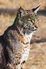 Bobcat8973c