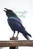 Raven8988