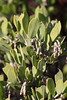 Manzanita holds its leaves perpendicular