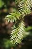 Redwood lower needles