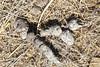 Fox scat - with terminal twist, on Bolinas Ridge