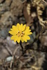 Tarweed flower