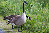 Geese0417