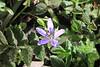 Wild Geranium, Filaree