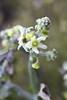 Manroot flower