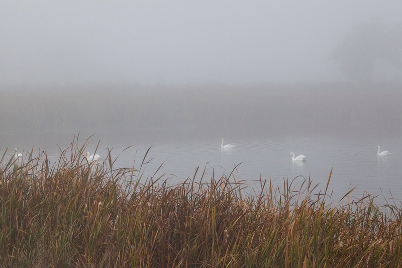 Swans1125