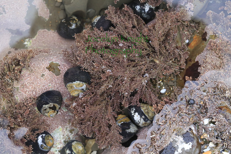 Pink Feather Coralline and Black Turban Snails