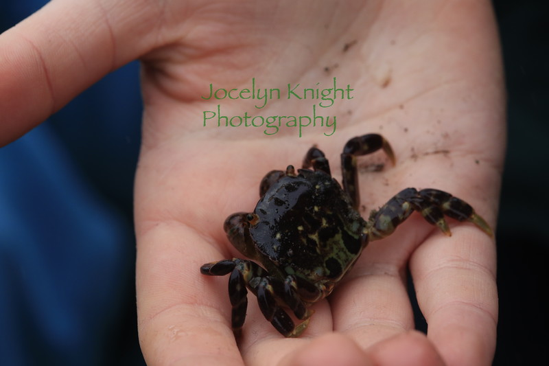 Purple spotted Shore Crab