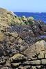 California Mussels - Mylitus Californianus