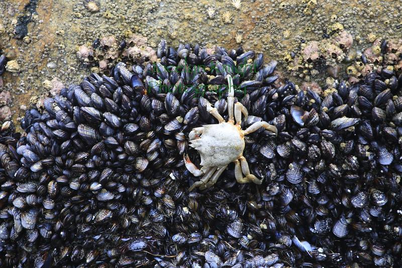 Exuvia of a Kelp Crab